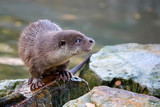 Weasel in the wild  - 236718795
