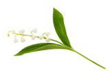 Closeup of lily of the valley flower