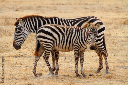 Zebra Foal and Mother - 236721355