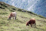 Cows in mountain terrain in Caravia, Asturias, Spain