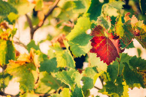 Fresh Green grapes vine on bokeh background. Autumn concept - 236730399