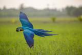 Beauty macaw flying freedom in rice field, Macaw bird, Beautiful Bird.