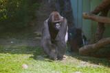 Gorilla - 236736111