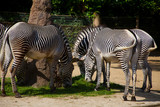 Grevy Zebras - 236736379