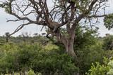 Leopard auf einer Safari im Madikwe Wildschutzgebiet