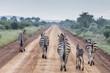 Zebras auf einer Landstraße in Madikwe, Südafrika