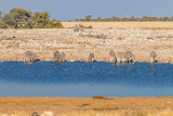 A Herd of zebras ( Equus Burchelli) drinking at the water hole, Etosha National Park, Namibia. - 236739916