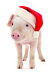 Pig in a red Santa Claus hat.