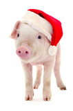 Pig in a red Santa Claus hat. - 236743334