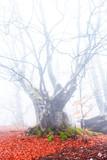 closeup old beech tree in a mist - 236745148