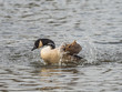 Canada Goose ( Branta canadensis ) Preening on a Lake in Winter