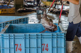 Tuna fish being thrown in large blue box on traditional fish market in Japan