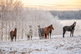 horses in snow © Laura Kezbere