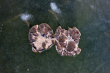debris lotus leaf on the ice