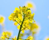 Farben des Frühlings und des Sommers: leuchtend gelbes Rapsfeld unter blauem Himmel mit Sonne :) - 236776104