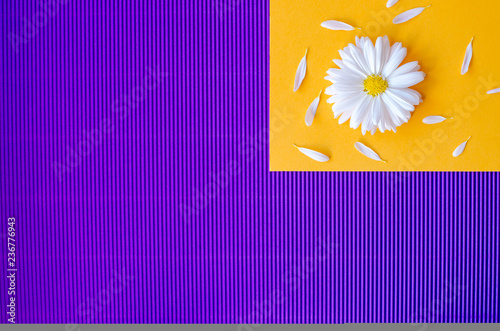 Daisies with petals on an orange and purple background. - 236776943