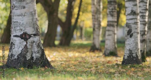 Autumn in city park under birch trees - 236781594