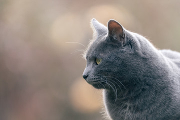 Chat gris en extérieur