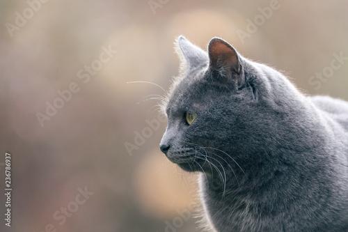 Chat gris en extérieur  - 236786937