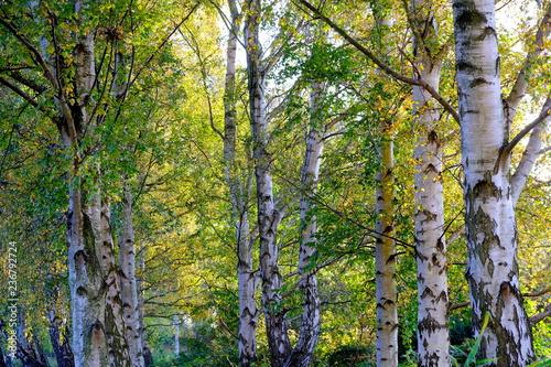 Birken im Herbst - 236792724