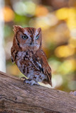 Rust colored Screech Owl Perched on a Log - 236811327