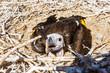 Leinwandbild Motiv Ohrengeier (Aegypius tracheliotus), im Nest, Jungtier, Namib Wüste, Namib-Naukluft-Nationalpark