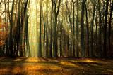 Autumn Forest in the golden Morning light - 236816180