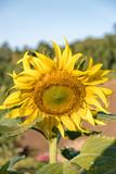 Sunflower Mon Cham Thailand