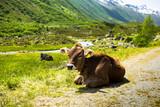 schöne Kuh an der Silvretta Hochalpenstraße in Österreich - 236839798