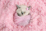 newborn british kitten sleeps on pink fur