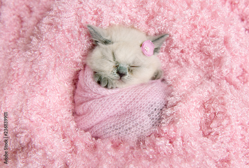 newborn british kitten sleeps on pink fur - 236839901