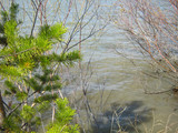 A bright green branch of a young pine and a blooming willow on the edge of the lake in early spring after the ice has melted. April, the awakening of nature. - 236850397