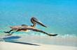 Leinwandbild Motiv Pelikan in Kuba