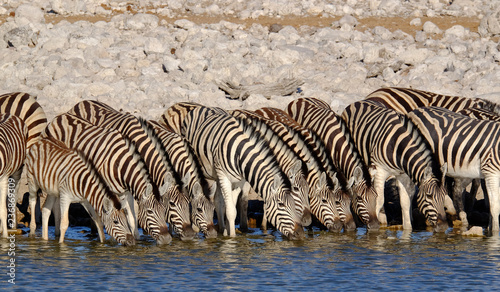 Zebras drinking at a waterhole, Etosha National Park, Namibia