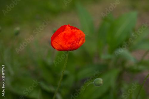 poppy - 236870765