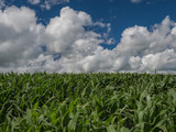 Portion of a bright green field of young corn with white cumulus clouds forming in the blue sky above on a summer day in the Midwest - 236873741