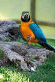 Uccelli - Papagalli - Ara - tropicale - giardino zoologico
