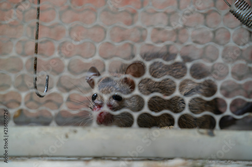 rat trapped in a cage