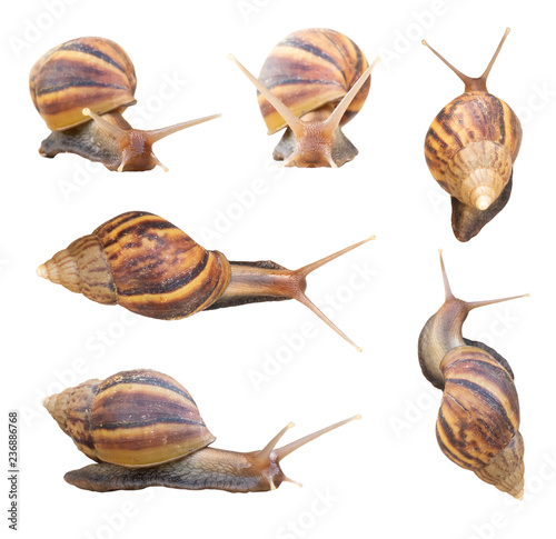 Giant african snails isolated