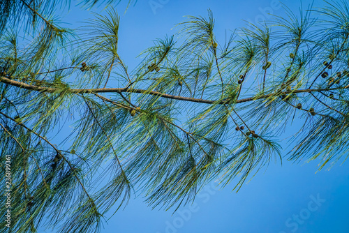 Pine branches and bluesky