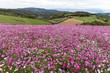 Cosmos flower field - 236899586