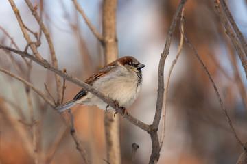 portrait of a sparrow © Maslov Dmitry