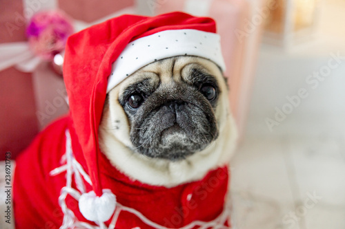 pug in santa costume sitting under christmas tree with gifts