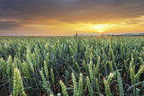 Wheat field - Agriculture - 236932792