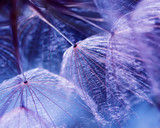 beautiful natural background with dandelion flower with fluffy light seeds in lilac tones
