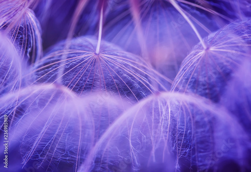 beautiful natural background with dandelion flower with fluffy light seeds in lilac tones - 236985989