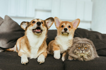 selective focus of adorable welsh corgi dogs and british longhair cat on sofa at home © LIGHTFIELD STUDIOS