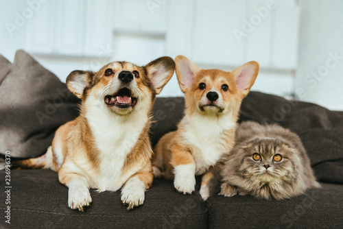 selective focus of adorable welsh corgi dogs and british longhair cat on sofa at home