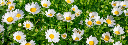 Blossoming spring meadow with chamomile flowers. Beautiful Blooming meadow in sunny day. - 236997940