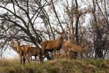 Famiglia di cervo nobile nella Alpi (Cervus elaphus)